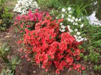 img_2262 Rhododenrony i Azalie - co robić by pięknie kwitły.