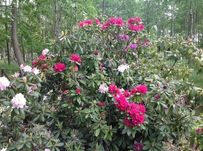 img_2269 Rhododenrony i Azalie - co robić by pięknie kwitły.