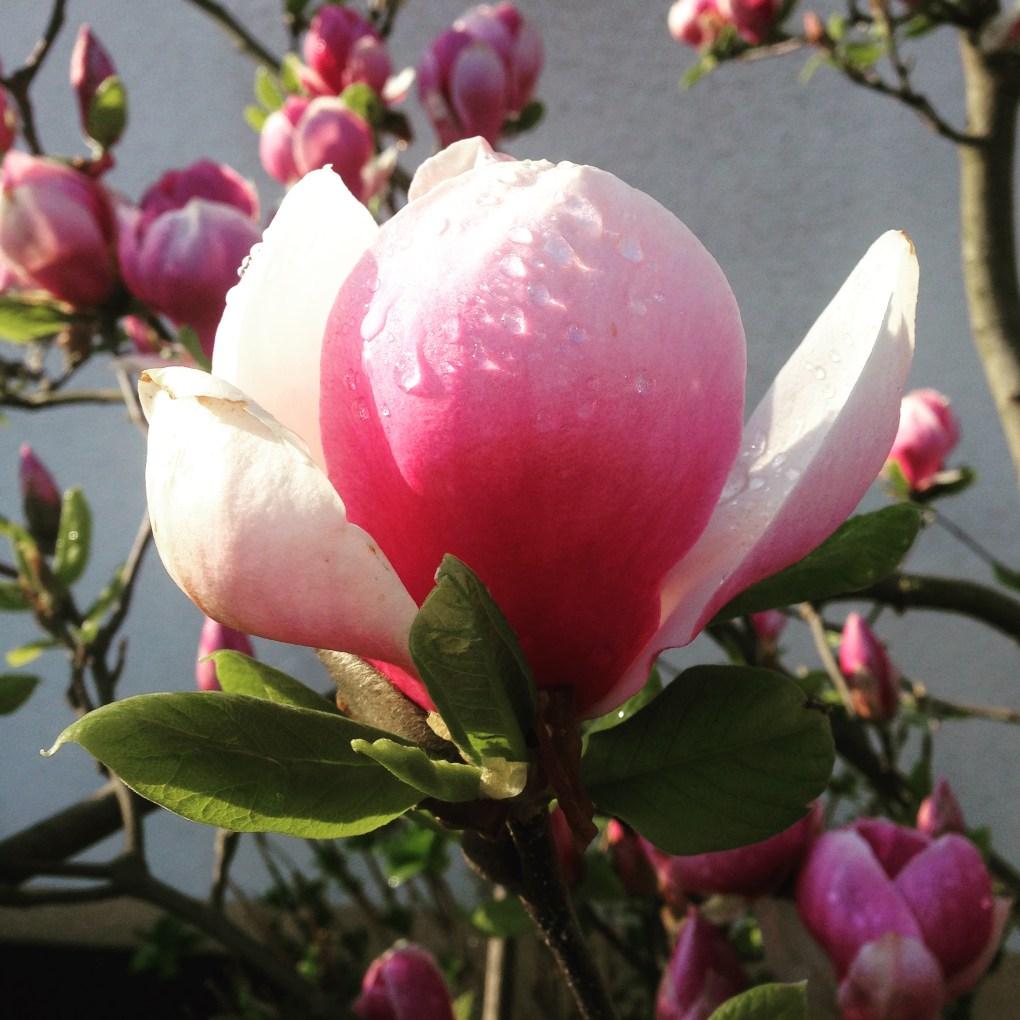 img_51041 Jakie rośliny jako pierwsze budzą się na wiosnę?