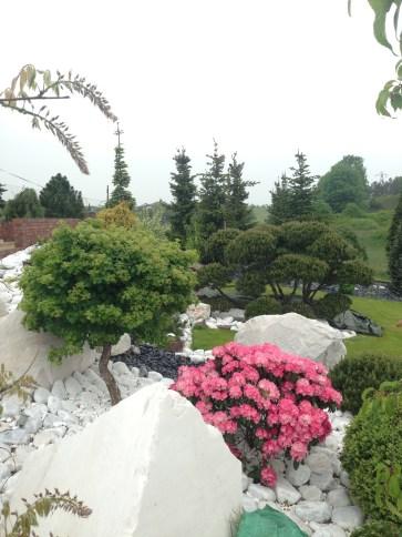 img_5260 Rhododenrony i Azalie - co robić by pięknie kwitły.