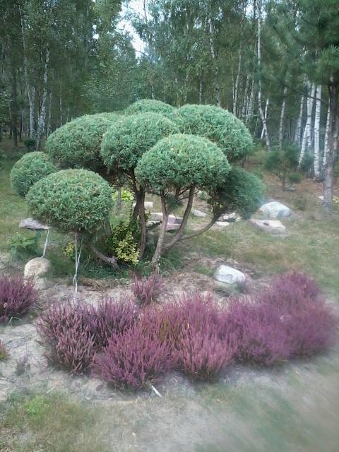 zdjc499cie0053 Ogród w lesie. Sumin