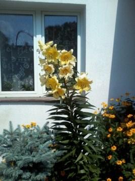 zdjc499cie0140 Lilie ogrodowe