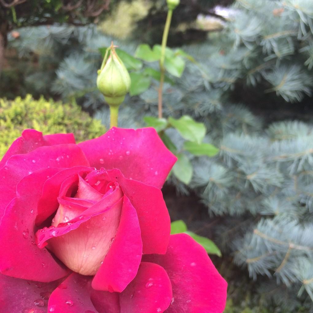 img_9511 Jak samemu zrobić sadzonki róż