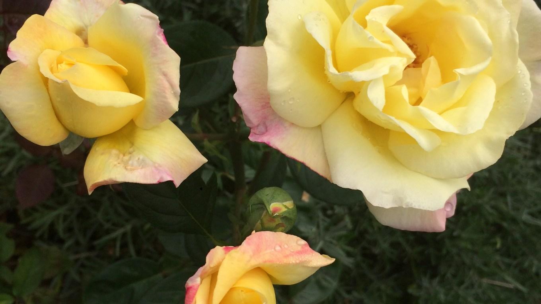 Róże będą kwitły, gdy damy im wodę