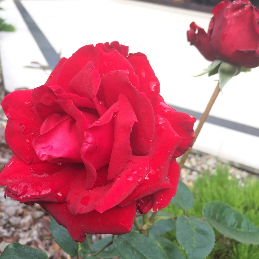 img_9519-1 Jak samemu zrobić sadzonki róż