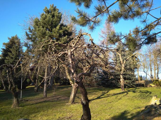 28423902_187025095361414_7101328498601532541_o Cięcie drzew owocowych