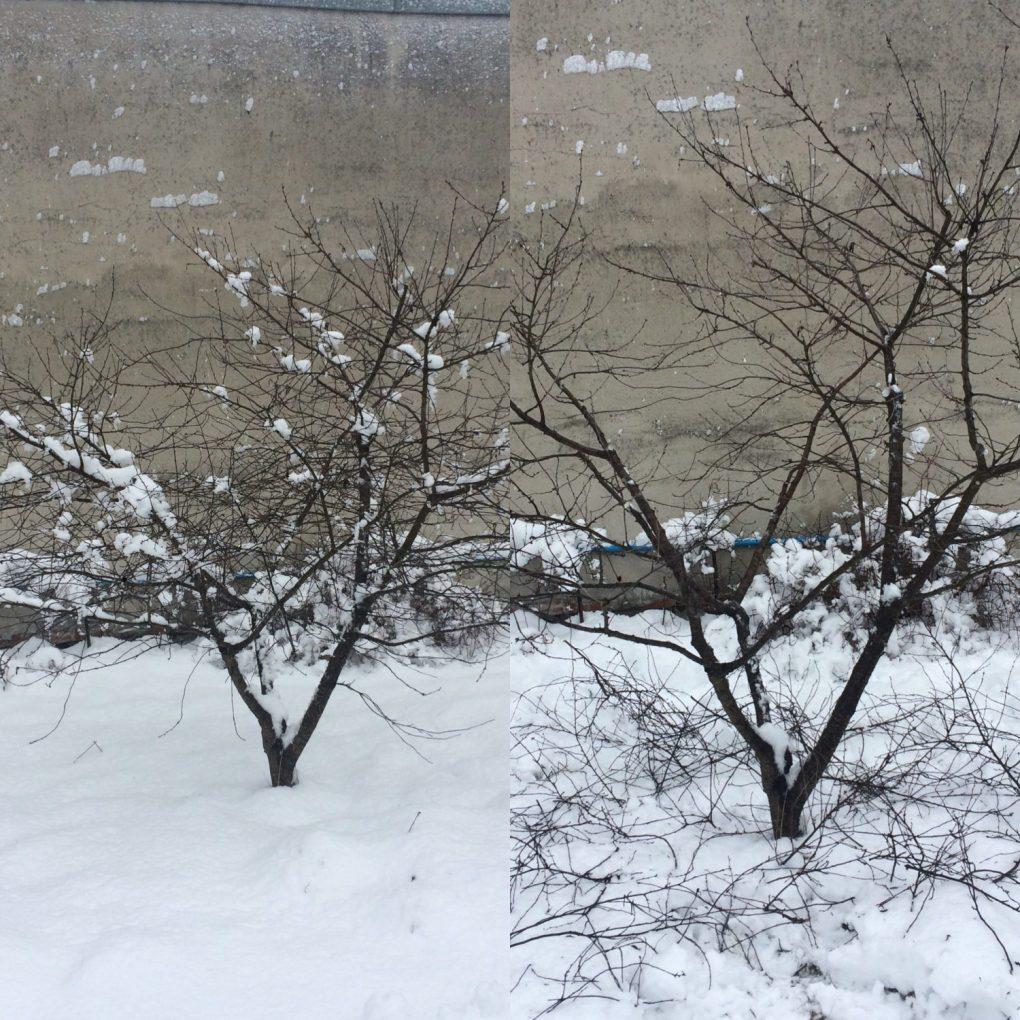 adb4a873-6488-4a04-b329-c81864e25801 Cięcie drzew owocowych