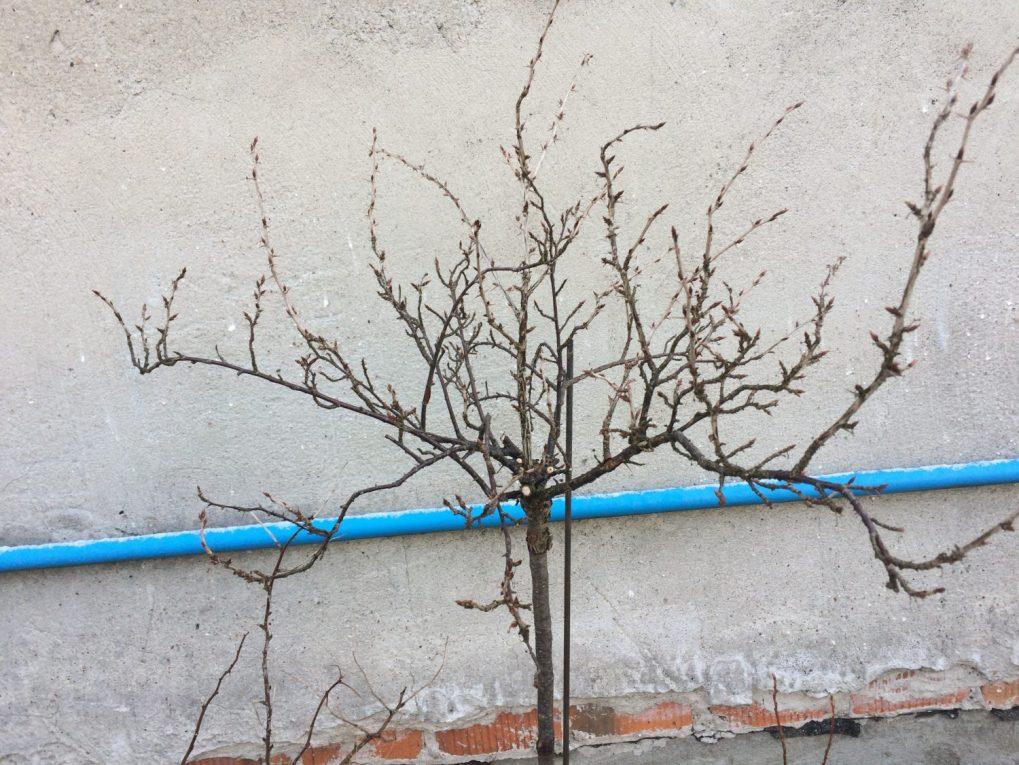 img_0404 Cięcie drzew owocowych. Kiedy ijak torobić?