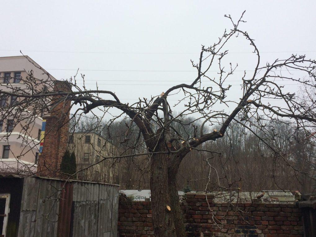 img_0420-1 Cięcie drzew owocowych. Kiedy ijak torobić?