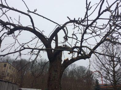 img_0422 Cięcie drzew owocowych