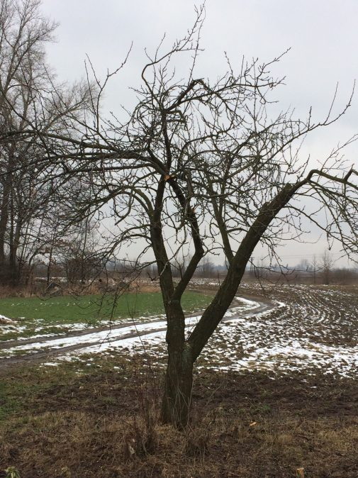 img_0476 Cięcie drzew owocowych
