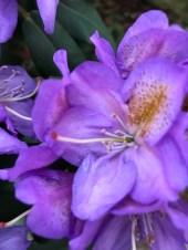 img_0553 Czyobrywamy kwiaty azalii iróżanecznika?