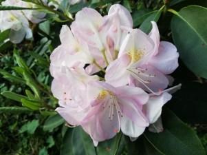 img_1063 Czyobrywamy kwiaty azalii iróżanecznika?