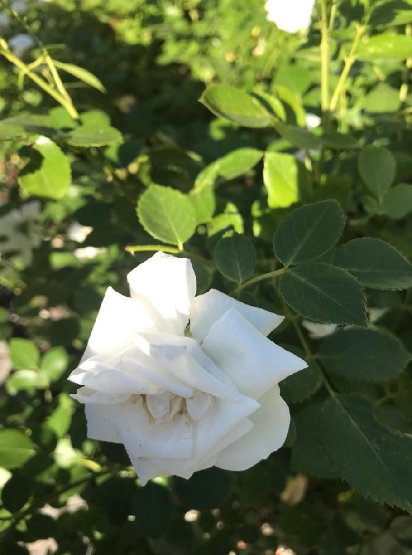 rc3b3c5bca-zielone-pogotowie Jak dbać o róże, żeby kwitły?