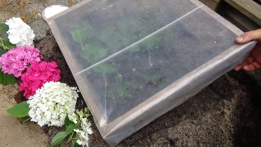 dsc02056 Przygotowanie podłoża pod ukorzenianie roślin