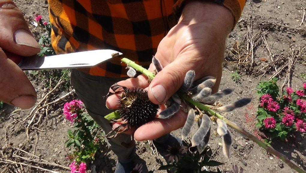 dsc02513 Jak pozyskać nasiona kwiatów?