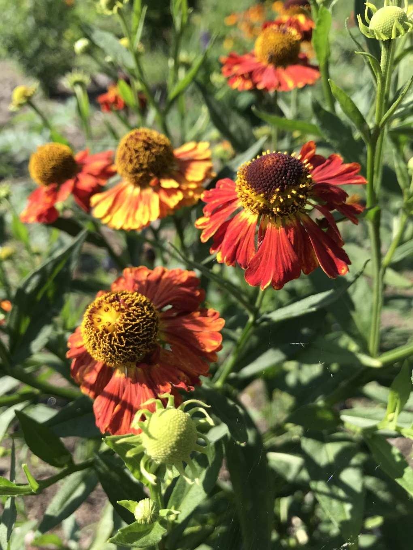 img_2223 Jak pozyskać nasiona kwiatów?