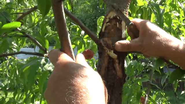 img_2508 Rak bakteryjny u drzewek owocowych - nie lekceważ!
