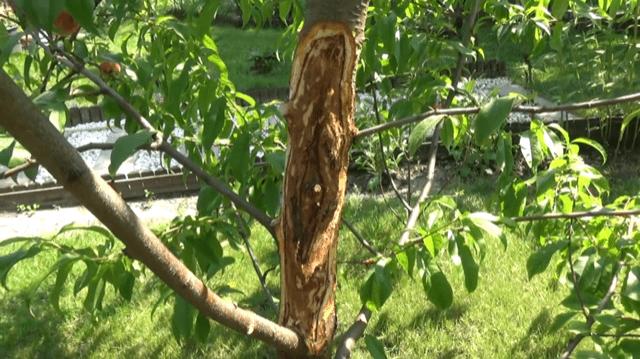 img_2510 Rak bakteryjny u drzewek owocowych - nie lekceważ!