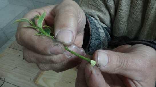 sadzonka-trzmieliny Ukorzenianie Trzmieliny