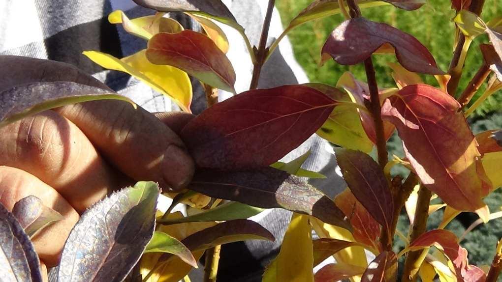 DSC02816 Te rośliny nadają się nażywopłoty