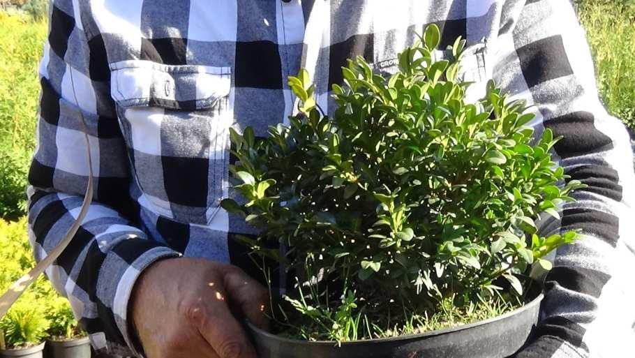DSC02818 Te rośliny nadają się nażywopłoty