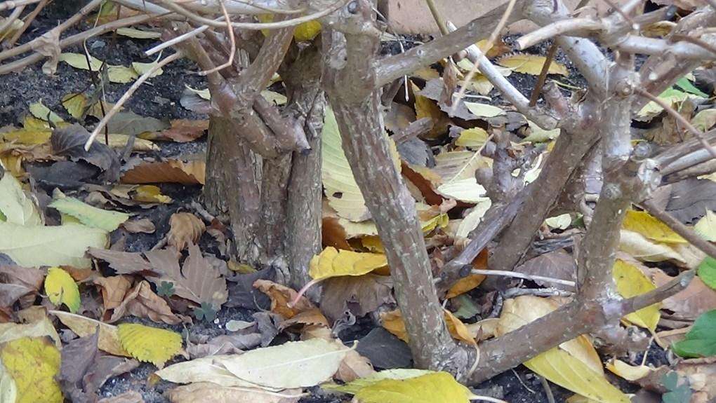 DSC02918-1024x577 Jakie gatunki hortensji masz w ogrodzie