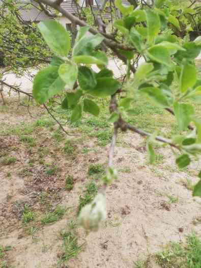 robaki-w-liściach-min-768x1024 Owoce bez robaków. Co stosować na owocówki?