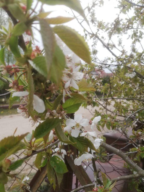 Robaczywe wiśnie