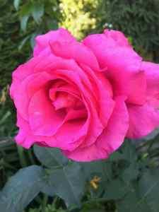 roża-3285468982-1558354760549-225x300 Jak sadzić róże? Zielone Pogotowie radzi