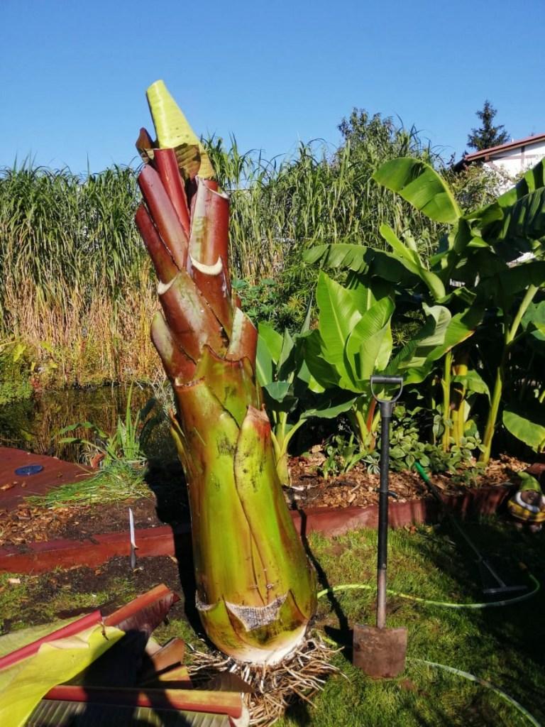 bananowiec-gotowy-do-wykopania-768x1024 Czy w Polsce da się uprawiać rośliny egzotyczne?