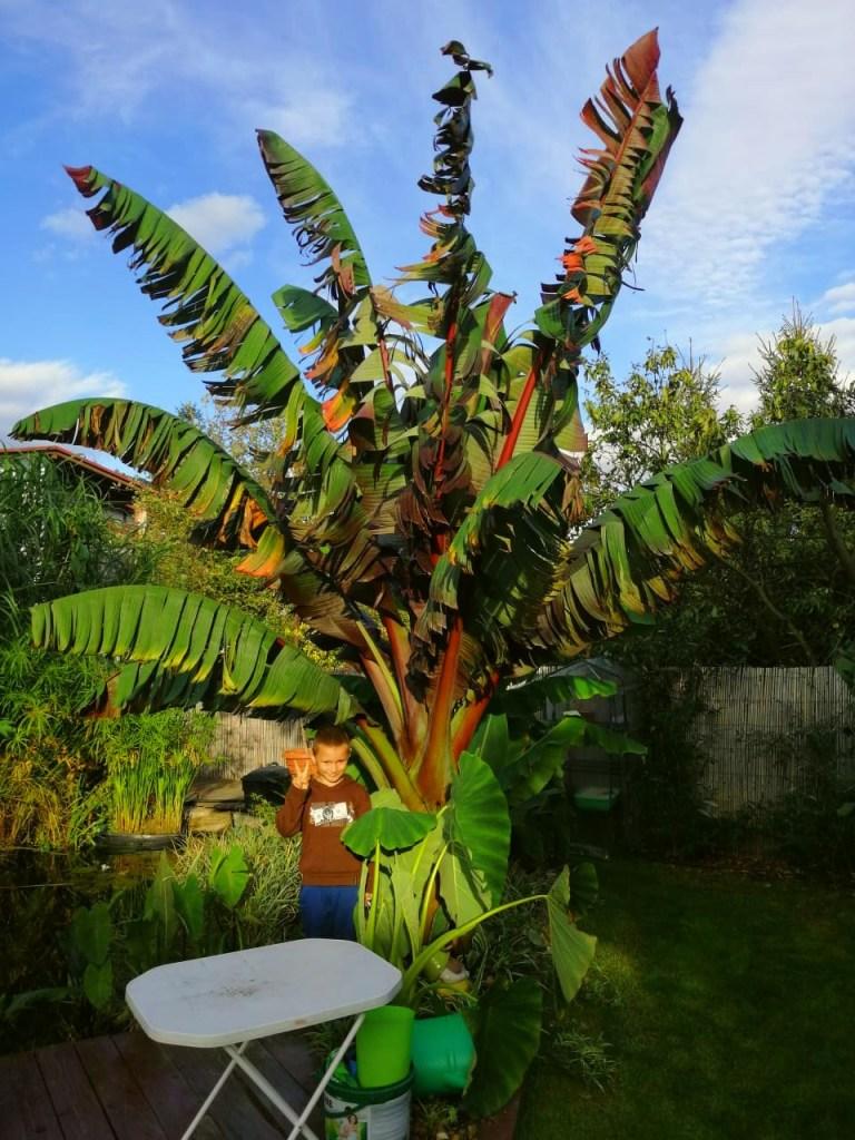 bananowiec-768x1024 CzywPolsce da się uprawiać rośliny egzotyczne?