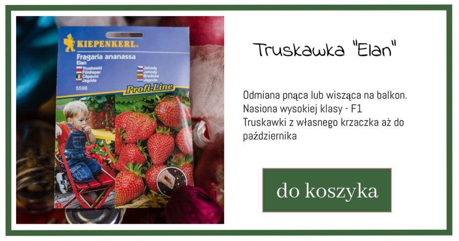 truskawki-nasiona-zielone-pogotowie-1024x538 Co sadzić na balkonie? Pomidory i truskawki