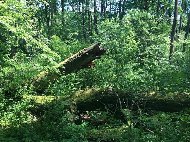 martwe-drzewa Martwe drewno toostoja życia