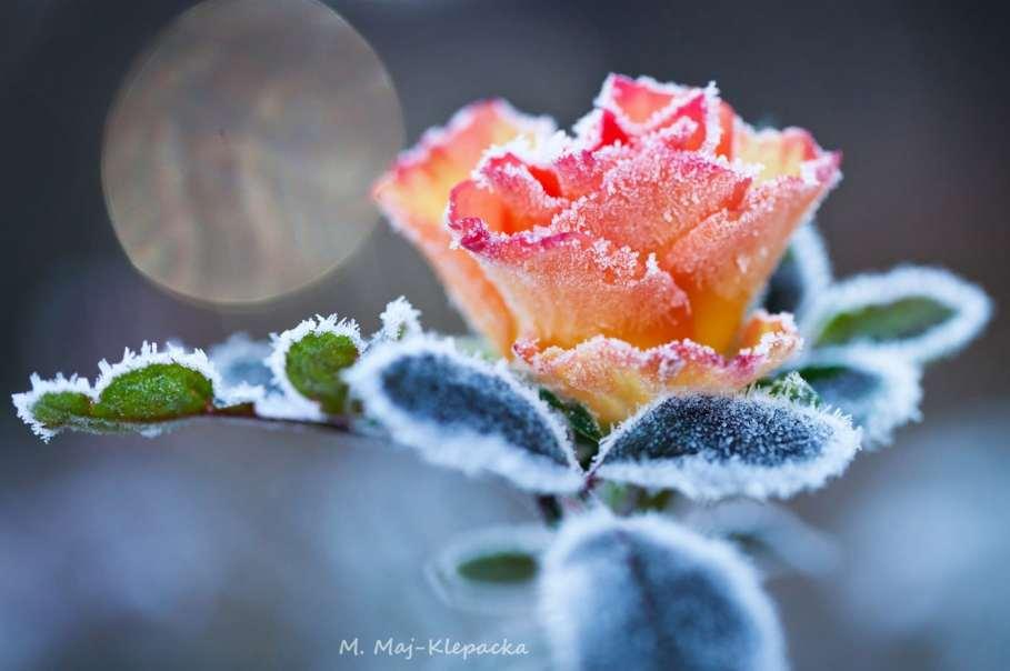 róża zimą