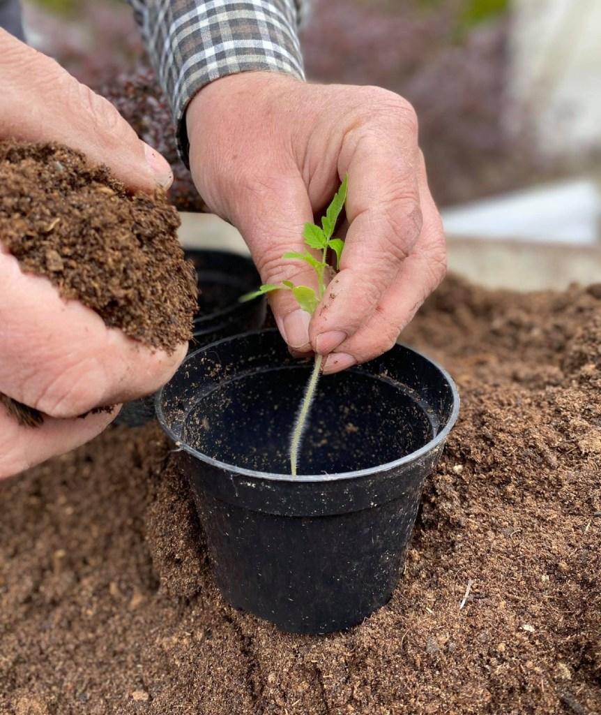 rozsada_1-862x1024 Rozsada pomidorów marnieje - co robić?