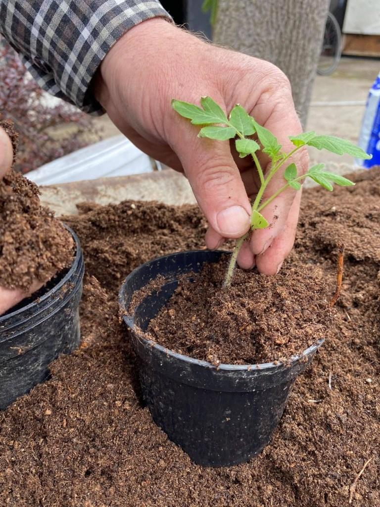rozsada_2-768x1024 Rozsada pomidorów marnieje - co robić?