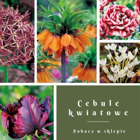 blog-cebule-kwiatowe 10 kwiatów cebulowych, które zakwitną najszybciej