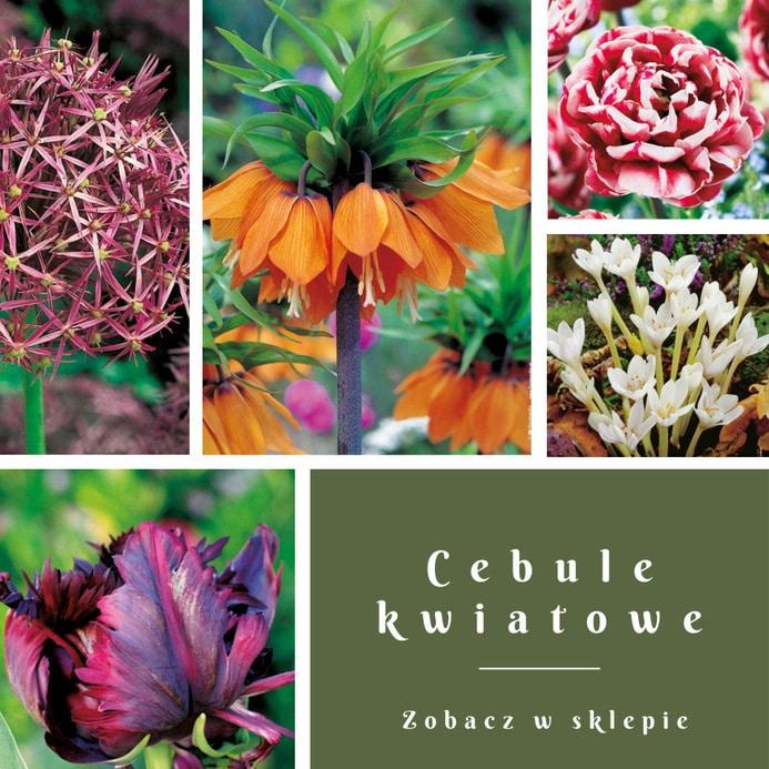 blog-cebule-kwiatowe Kiedy sadzić tulipany? Jak o nie dbać?