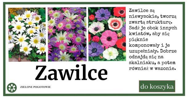 zawilce_reklama-1024x538 Zawilce - kwiaty na skalniak i do cienia