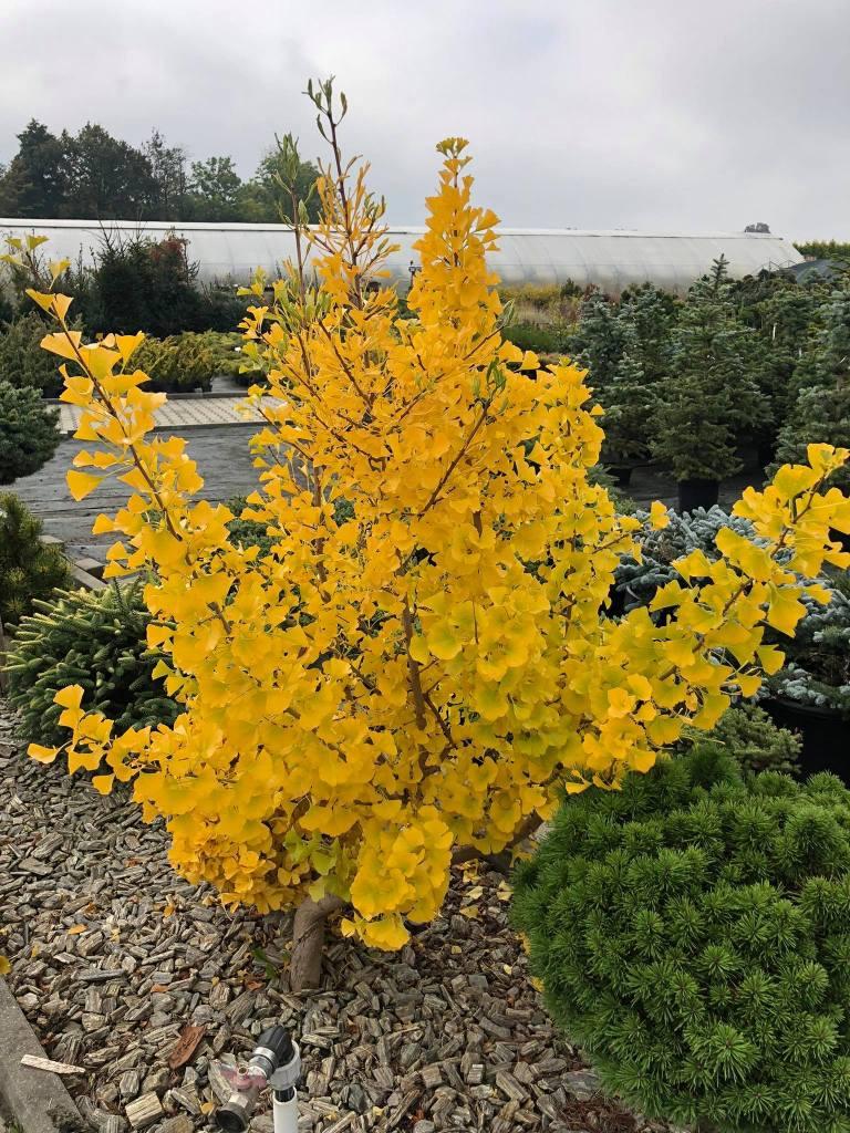 milorzab-ginkgo-biloba-768x1024 Kolorowy ogród jesienią