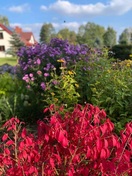 trzmielina-oskrzydlona-768x1024 Kolorowy ogród jesienią