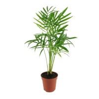 Palma koralowa (Chamaedorea elegans)