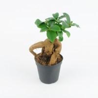 Fikus tępy 'Ginseng' - mały (Ficus retusa)
