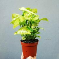 Zroślicha - Syngonium 'Mango Allusion' (Syngonium podophyllum)