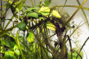 Algen an einer Pflanze im Aquarium