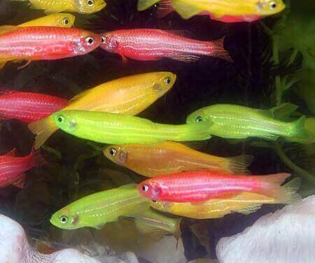 Glühende Fische