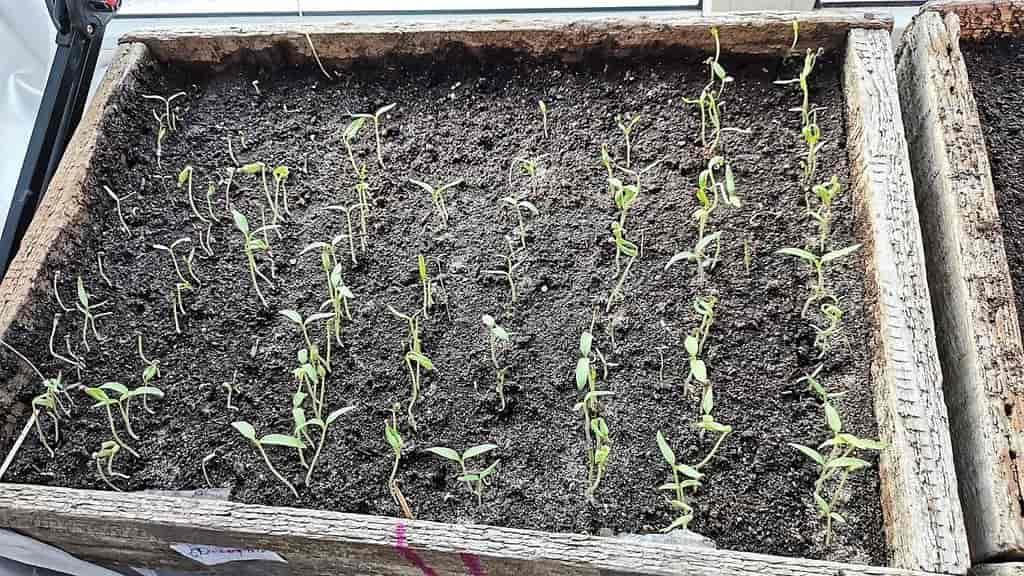 Plantor tomatov