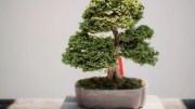 photo of green leafed bonsai style plant on brown pot