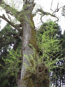 エドヒガン桜の新芽